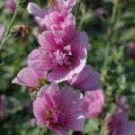 Alcalthea suffrutescens'Parkrondell'