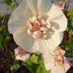 Alcalthea suffrutescens'Parkallee'
