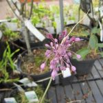 Allium carinatum ssp. pulchellum