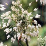 Allium carinatum ssp. pulchellum 'Album'